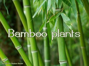 The Bamboo Bazaar - bamboo plants